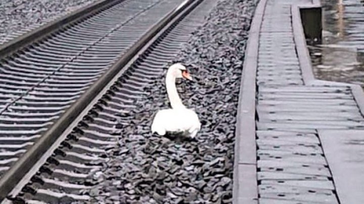 O lebădă a reținut 23 de trenuri, pentru că deplângea moartea tovarășului