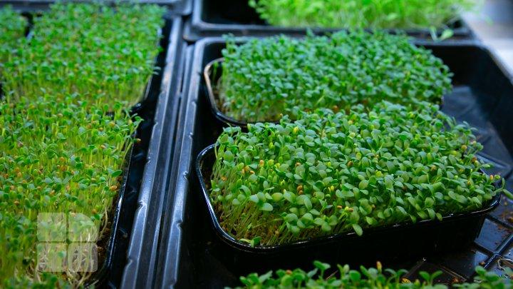 Cultivarea micro-verdeţurilor (FOTOREPORT)
