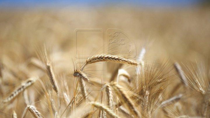 În acest an, specialiştii prognozează o recoltă dublă de grâu, comparativ cu 2020