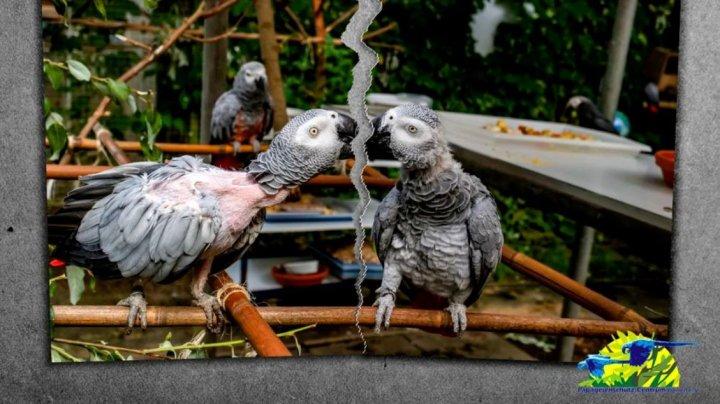 Un papagal a intrat în depresie și își smulge penele, după ce o instanță germană a decis să fie separat de partenera sa (FOTO)