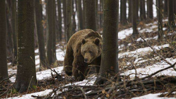 Ursul Baloo surprins în munţii Retezat, în timp ce se scărpina de un copac (VIDEO)