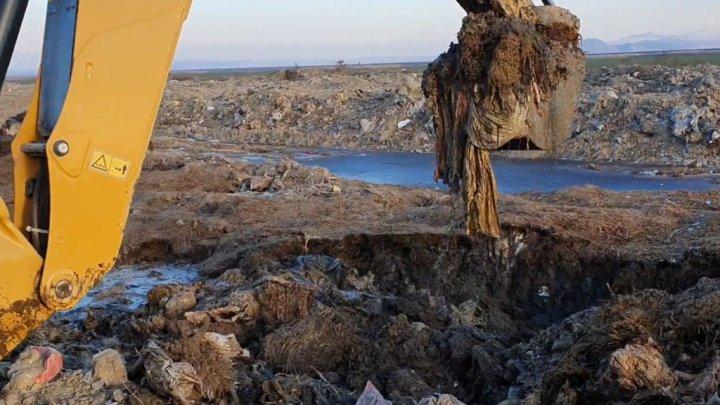 Cazul oilor înecate în Portul Midia: Leșurile a mii de animale au fost îngropate în camp, desi trebuiau incinerate