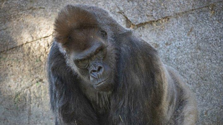 O gorilă tratată cu anticorpi de sinteză s-a vindecat de COVID-19