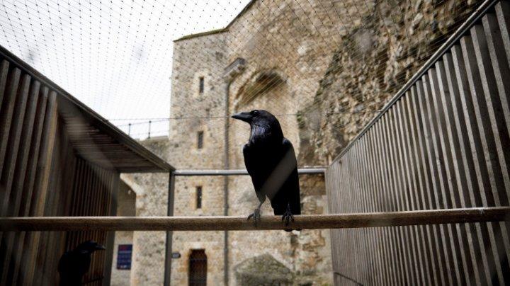 """A dispărut """"regina"""" corbilor din Turnul Londrei. Ce spune profeţia despre acest lucru"""
