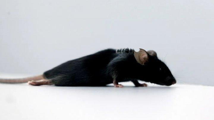 Premieră în medicină! Oamenii de știință din Germania au făcut un șoarece paralizat să meargă din nou (VIDEO)