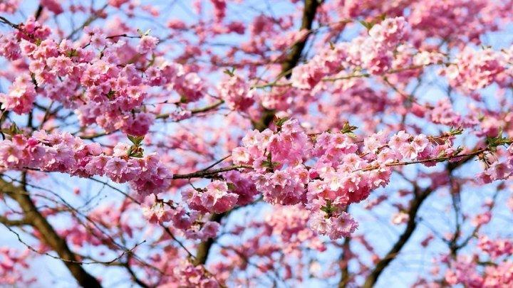 Japonia a înregistrat cel mai timpuriu vârf al sezonului florilor de cireş