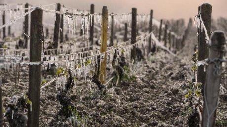 Dezastru agricol în Franţa. 80 la sută din principalele podgorii ale ţării, afectate de ger