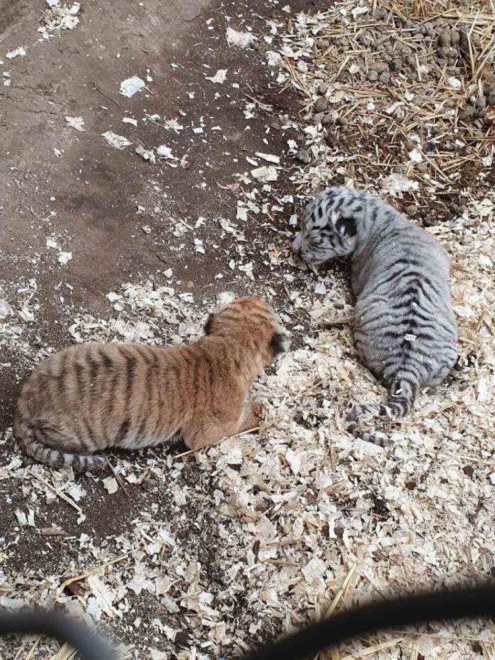 Primele imagini cu cei doi pui de tigru, născuți la Grădina Zoologică din Capitală (FOTO)