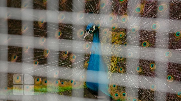 În ajunul sărbătorilor pascale, oamenii sunt în căutarea ouălor exotice, precum cele de păun sau de struţ (FOTO)