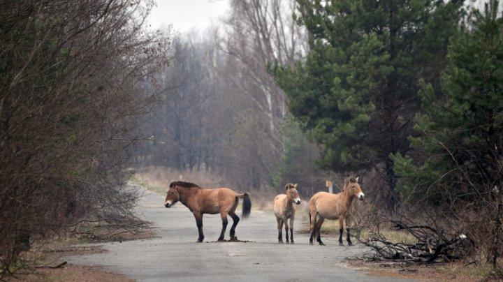 Zona radioactivă de la Cernobîl, prosperă pentru o specie de cai sălbatici