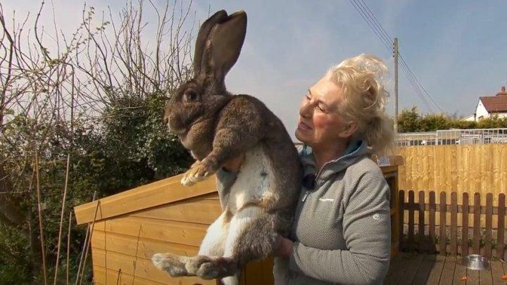 A fost furat cel mai mare iepure din lume. Ce recompensă oferă proprietara, un fost model Playboy
