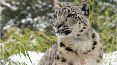 Trei leoparzi au scăpat dintr-un parc safari din oraşul chinez Hangzhou