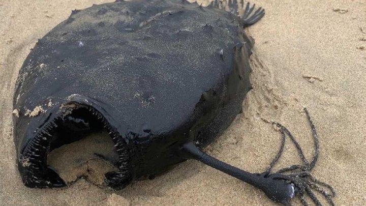 Pește cu înfățișare monstruoasă, care trăiește la o adâncime de un kilometru, a eșuat pe o plajă din California (FOTO)