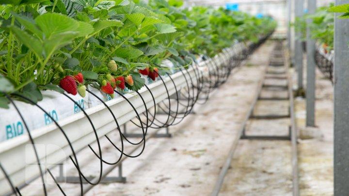 S-au copt primele căpșuni moldovenești. Care este prețul unui kilogram (FOTOREPORT)