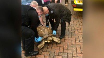 O țestoasă uriașă a fugit de acasă și a pornit la plimbare prin oraș. Cum a fost prinsă