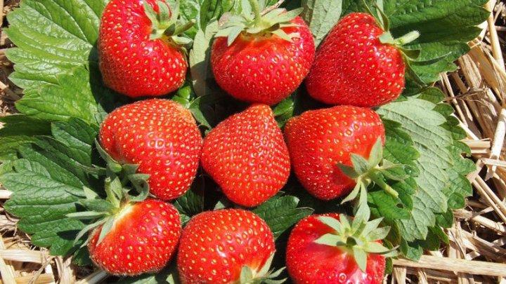 Multe fructe și zeci de pofticioși: La Sadova s-a desfăşurat Festivalul căpşunelor
