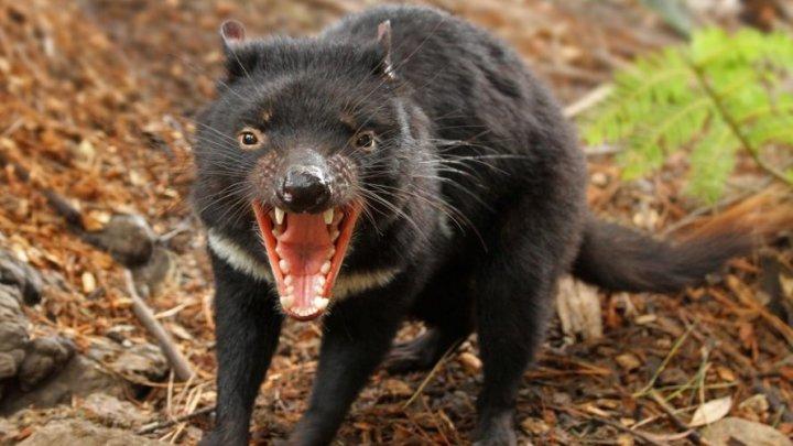 Diavolii tasmanieni care se află pe o insulă de 10 ani, pentru salvarea speciei, au ucis întreaga populație locală de pinguini