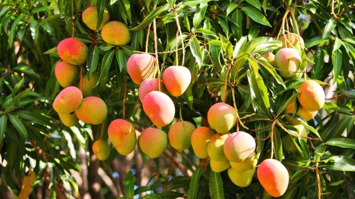 Un om de afaceri indian a angajat servicii de pază pentru un copac de mango
