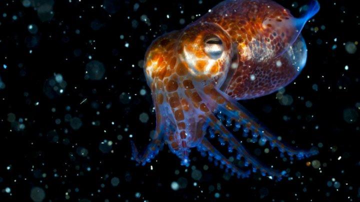 NASA trimite în spaţiu 128 de calamari, care au un sistem imunitar similar cu al oamenilor