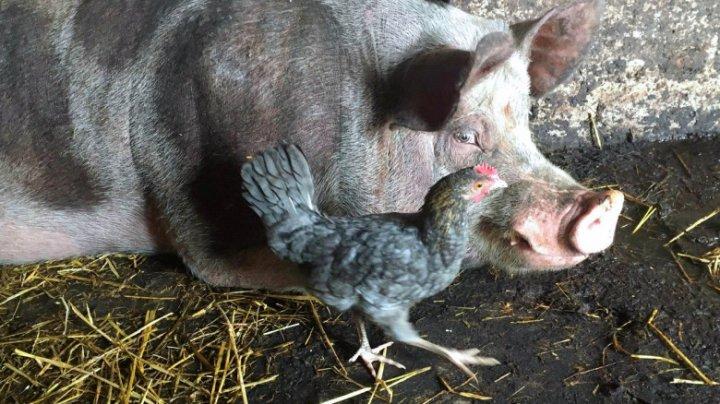 Statele UE vor permite utilizarea proteinelor obţinute din insecte ca nutreţ pentru păsări şi porci