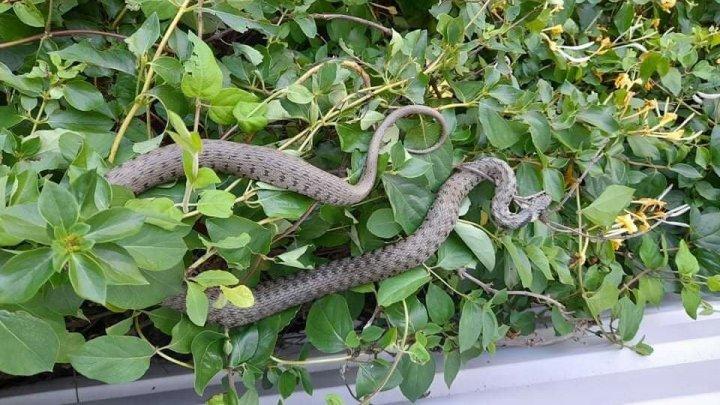 Salvatorii din Căuşeni, puşi pe jar de o VIPERĂ. Şarpele a fost observat de localnicii de la apartamentele superioare (FOTO)