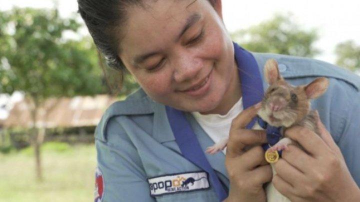 Șobolanul Magawa, decorat pentru depistarea bombelor în Cambodgia, s-a pensionat