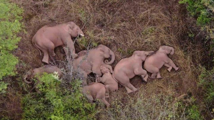 IMAGINI SPECTACULOASE cu cei 15 elefanți migratori din China, care se odihnesc după călătoria de 500 km (FOTO)