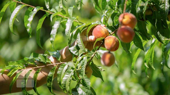 Dulci, gustoase şi extrem de aromate. Piersicile autohtone au apărut deja în pieţele din ţară