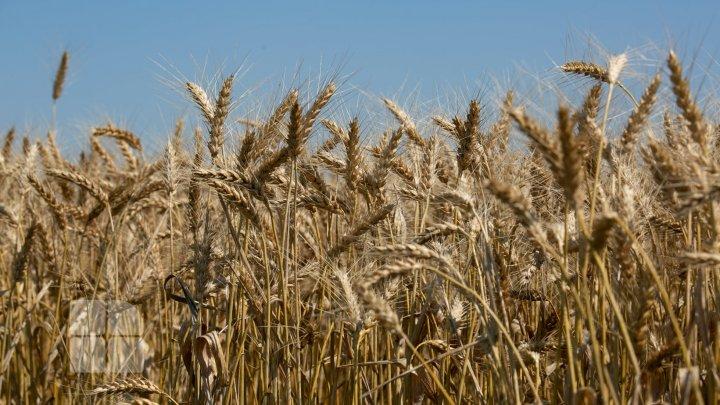 Din cauza ploilor abundente, o parte din grâul european va ajunge să fie folosit ca nutreţ