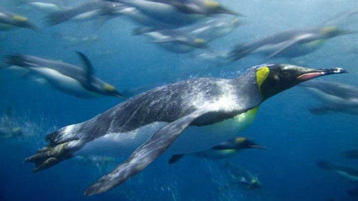 STUDIU: Microparticule de plastic, identificate în dieta pinguinilor din Antarctica