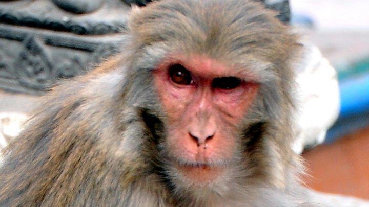 O femelă de macac japonez a devenit liderul alpha al unui grup de 677 de maimuțe din Japonia