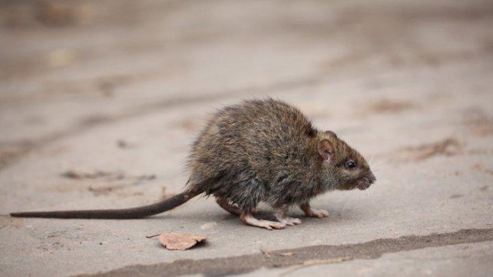 O femeie a luat tifos după ce a dus la gunoi un şobolan mort găsit în curte