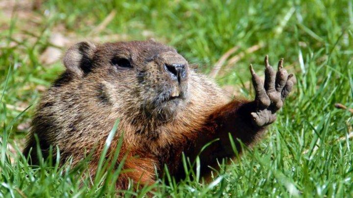 Mongolia interzice vânătoarea de marmote timp de 3 ani