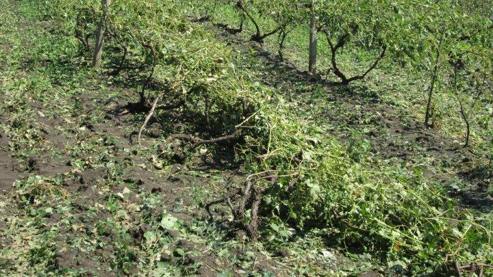 Consecințele ploii: imagini sumbre de pe terenurile agricole din Călărași