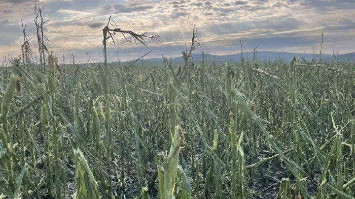 Prejudicii în urma ploilor: suprafețe masive de porumb distruse de grindină în raionul Ungheni (VIDEO)