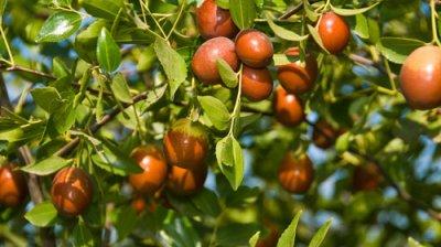 Fructele de ziziphus furate și comercializate în piețe de moldoveni. Declarațiile antreprenorului