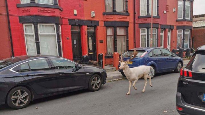 Un cerb alb rar a fost împușcat pe străzile unui oraș din Anglia