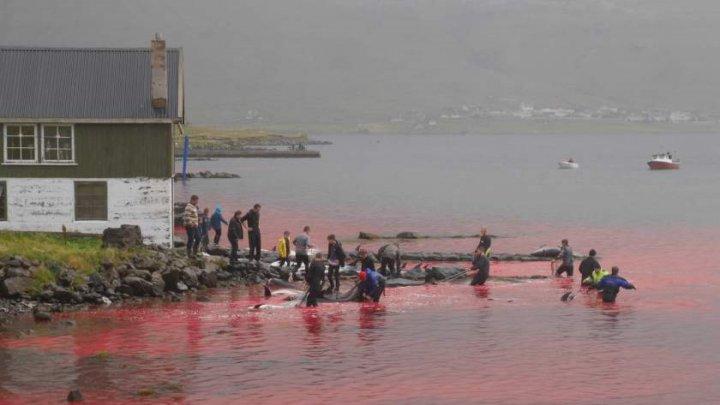 Furie după masacrul delfinilor, în Feroe. Peste 1.400 au fost uciși, apele înroșite de sânge, iar plajele pline de cadavre