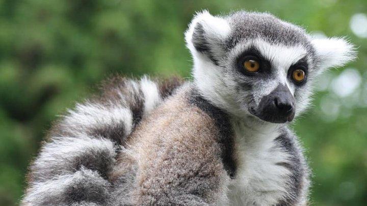 O grădina zoologică din SUA a început să vaccineze animalele împotriva COVID-19