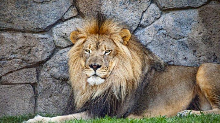 Lei şi tigri de la ZOO din Washington, testaţi pozitiv cu COVID-19. Animalele urmează să fie vaccinate