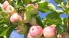 Россия запретила импорт молдавских яблок