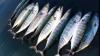 По мнению американских океанологов, хищные виды рыб могут исчезнуть
