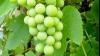 Уникальную виноградную лозу уничтожили в Австрии