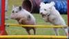 В Великобритании поросенок возомнил себя щенком (ФОТО)