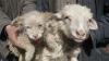 В Китае овца родила «щенка»