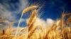 Работники комбината по переработке зерна в Фалештах угрожают заблокировать ЖД