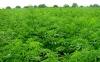 Власти Мексики объявили об обнаружении крупнейшей плантации марихуаны в истории