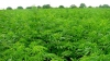 Плантация марихуаны общей площадью почти 2 га обнаружена в Яловенском районе