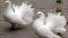 Около 600 почтовых голубей запустят на параде в День независимости