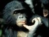 Найдена самая умная обезьяна